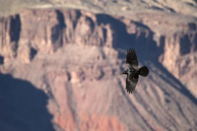 A Raven in Flight on a Thermal Above the South Rim of the Grand Canyon-Bill Hatcher-Photographic Print