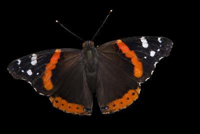 A Red Admiral Butterfly, Vanessa Atalanta, at Leech Lake, Minnesota-Joel Sartore-Photographic Print