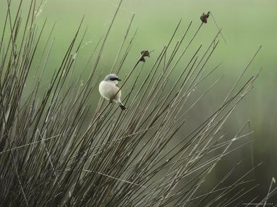 A Red-Backed Shrike Perches on Field Grass-Klaus Nigge-Photographic Print