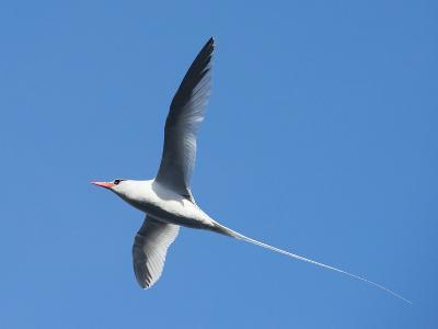 A Red-Billed Tropic Bird Flying-Michael Melford-Photographic Print