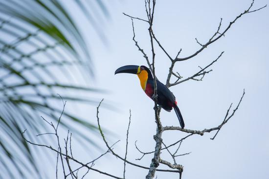 A Red-Breasted Toucan, Ramphastos Dicolorus, Waits in a Tree in Ubatuba, Brazil-Alex Saberi-Photographic Print
