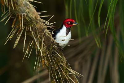 A Red Capped Cardinal in Yasuni National Park-Steve Winter-Photographic Print