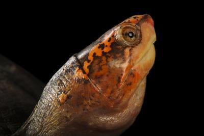 A Red-Cheeked Mud Turtle, Kinosternon Scorpioides Cruentatum-Joel Sartore-Photographic Print