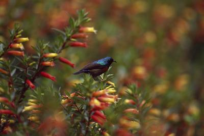 A Red-chested Sunbird, Nectarinia Erythrocerca, Among Flowers-David Pluth-Photographic Print