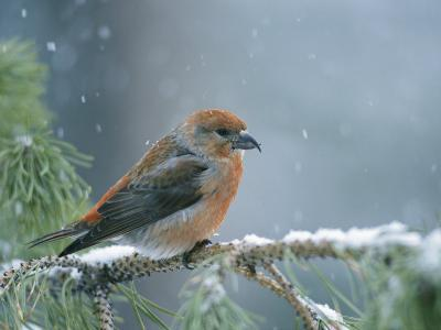 A Red Crossbill Weathers a Snowstorm in a Pinetree-Michael S^ Quinton-Photographic Print
