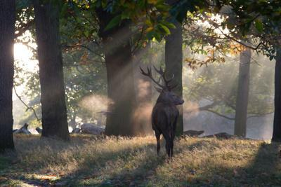 https://imgc.artprintimages.com/img/print/a-red-deer-stag-cervus-elaphus-waits-in-the-early-morning-mists-in-richmond-park-in-autumn_u-l-pokoiq0.jpg?p=0