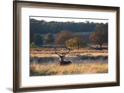 A Red Deer Stag Resting During the Autumn Rut in Richmond Park-Alex Saberi-Framed Photographic Print