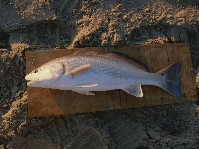 A Red Drum Caught While Surf Fishing on the Outer Banks-Stephen Alvarez-Photographic Print