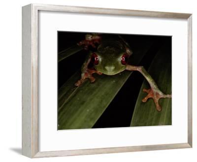 A Red Eyed Tree Frog, Agalychnis Callidryas-Medford Taylor-Framed Photographic Print