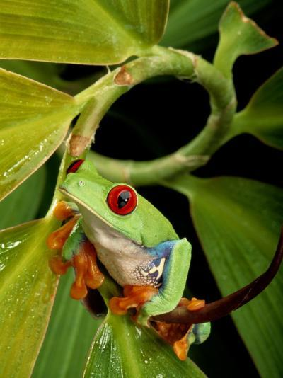 A Red-Eyed Tree Frog-George Grall-Photographic Print