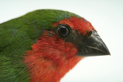 A Red Faced Parrot Finch or Red Throated Parrotfinch at Sylvan Heights Waterfowl Park-Joel Sartore-Photographic Print
