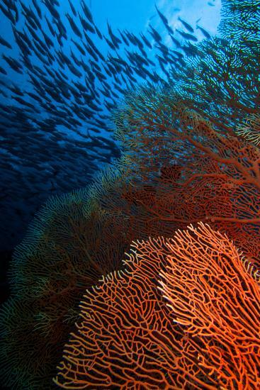 A Red Fan Coral in Blue Water with a School of Fish Above-Ben Horton-Photographic Print