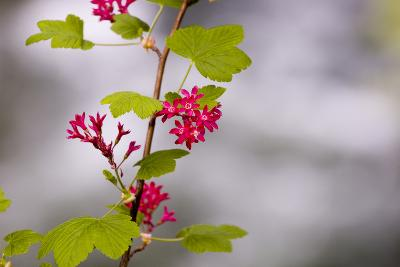 A Red-Flowering Currant, Ribes Sanguineum-Paul Colangelo-Photographic Print