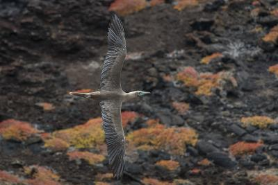 A Red-Footed Booby in Flight over Red Sesuvium at Punta Pitt, San Cristobal Island-Jeff Mauritzen-Photographic Print