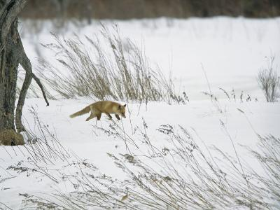 A Red Fox in a Snowy Landscape-Tim Laman-Photographic Print