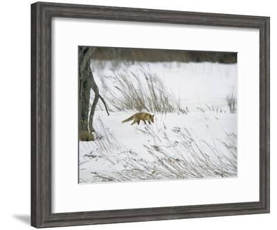 A Red Fox in a Snowy Landscape-Tim Laman-Framed Photographic Print