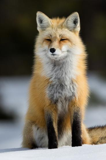 A Red Fox in Grand Teton National Park-Charlie James-Photographic Print