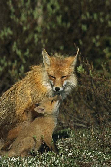 A Red Fox Mother and Her Pup-Norbert Rosing-Photographic Print