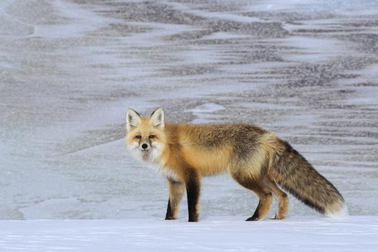 A Red Fox on the Snow-Tom Murphy-Photographic Print