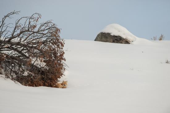 A Red Fox Rests under a Tree in a Snowy Landscape-Tom Murphy-Photographic Print