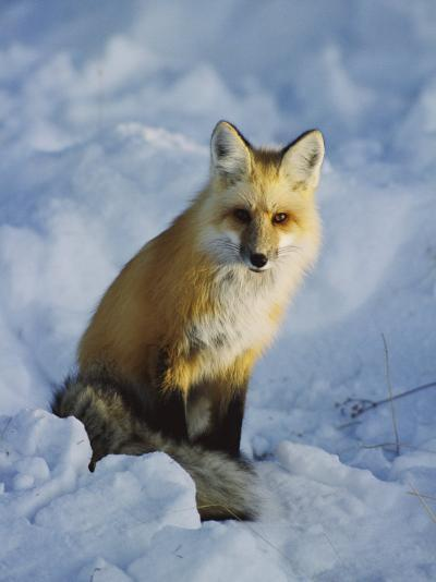 A Red Fox Sits in the Snow-Tom Murphy-Photographic Print