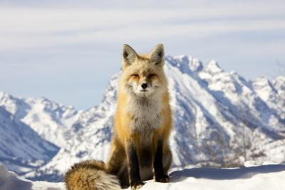 A Red Fox, Vulpes Vulpes, Basks in Winter Sun-Robbie George-Photographic Print