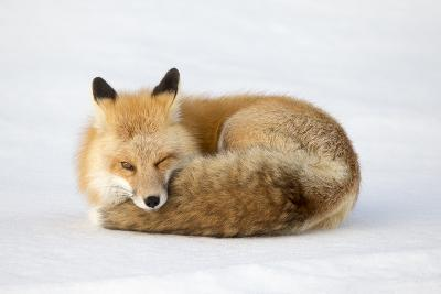 A Red Fox, Vulpes Vulpes, Curled Up on the Snow-Robbie George-Photographic Print