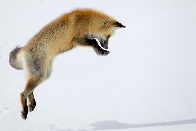 A Red Fox, Vulpes Vulpes, Pouncing for Prey Burrowed Under the Snow-Robbie George-Photographic Print