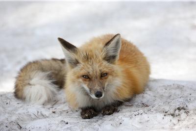 https://imgc.artprintimages.com/img/print/a-red-fox-vulpes-vulpes-rests-on-snow_u-l-q13hom70.jpg?p=0