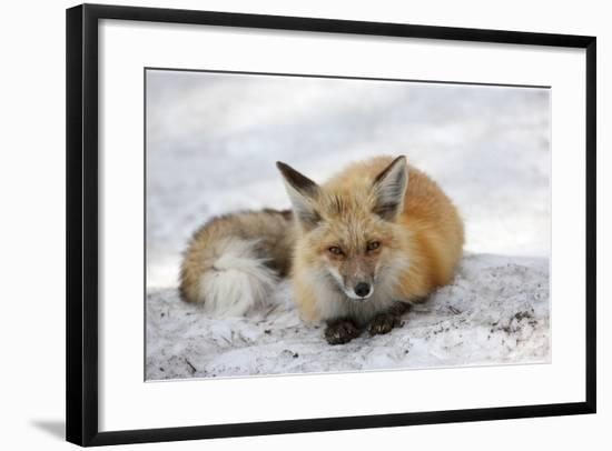A Red Fox, Vulpes Vulpes, Rests on Snow-Robbie George-Framed Photographic Print