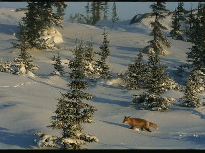 A Red Fox Walking Among Evergreen Trees in a Snowy Landscape-Norbert Rosing-Photographic Print
