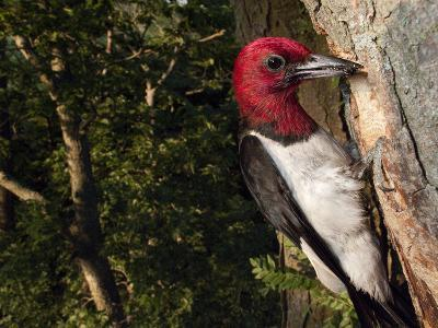 A Red-Headed Woodpecker Perches by its Nest Cavity-Joel Sartore-Photographic Print