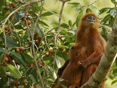 A Red Leaf Monkey Nursing Her Baby in Strangler Fig Tree-Tim Laman-Photographic Print