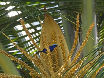 A Red-Legged Honeycreeper Lands on Tropical Plants-Michael Melford-Photographic Print