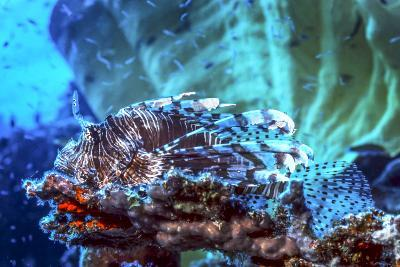 A Red Lionfish Resting on a Coral Reef Unthreatened-Stocktrek Images-Photographic Print