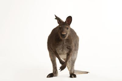 A Red-Necked Wallaby, Macropus Rufogriseus, at the Gladys Porter Zoo-Joel Sartore-Photographic Print