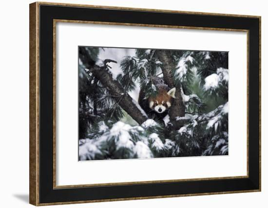 A Red Panda in the Central Park Zoo-Kike Calvo-Framed Photographic Print