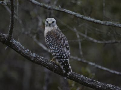 A Red-Shouldered Hawk Sits on a Tree Branch-Bates Littlehales-Photographic Print