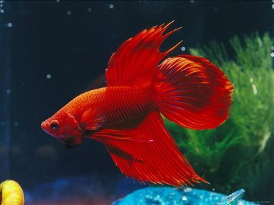 A Red Siamese Fighting Fish in an Aquarium-Jason Edwards-Photographic Print