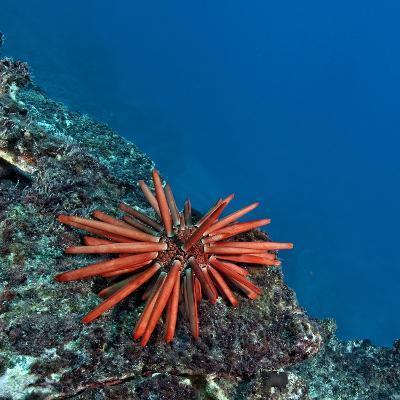 A Red Slate Pencil Urchin-Cesare Naldi-Photographic Print