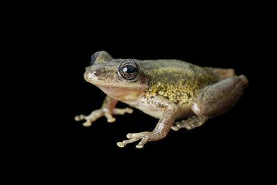 A Red Snouted Treefrog, Scinax Ruber-Joel Sartore-Photographic Print