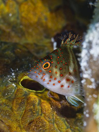 A Red Spotted Hawkfish Hiding Among Sponges-Jim Abernethy-Photographic Print