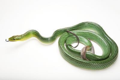 A Red-Tailed Green Ratsnake, Gonyosoma Oxycephalum, at the Houston Zoo-Joel Sartore-Photographic Print
