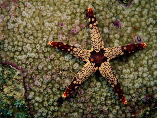 A Red-Tipped Sea Star on a Coral Bed-Tim Laman-Photographic Print