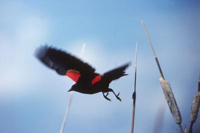 A Red-winged Blackbird, Agelaius Phoeniceus, in Cattails-Bates Littlehales-Photographic Print