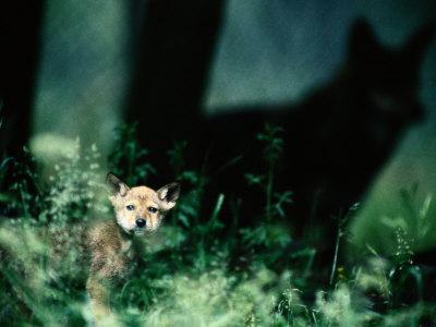 https://imgc.artprintimages.com/img/print/a-red-wolf-peers-through-foliage_u-l-p3jq9o0.jpg?p=0