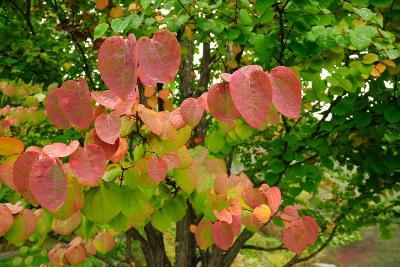 A Redbud Tree with Fall Foliage in the Asticou Azalea Gardens-Darlyne A^ Murawski-Photographic Print