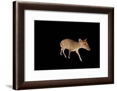 A Reeves' Muntjac, Muntiacus Reevesi, at the Lincoln Children's Zoo-Joel Sartore-Framed Photographic Print