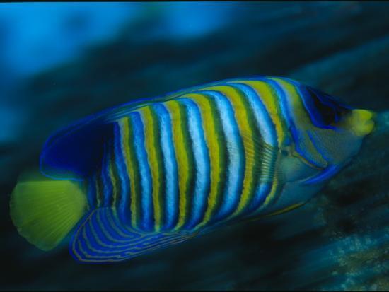 A Regal Angelfish Swimming in Blue Water-Tim Laman-Photographic Print