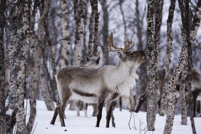 https://imgc.artprintimages.com/img/print/a-reindeer-rangifer-tarandus-in-a-snowy-forest_u-l-pwe8yl0.jpg?p=0